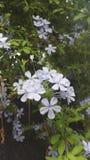 Flores florecientes del blanco Fotografía de archivo