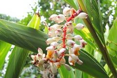 Flores florecientes del blanco de la planta del jengibre Imágenes de archivo libres de regalías