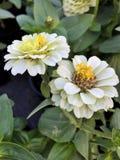 Flores florecientes del blanco en el jardín Imagen de archivo libre de regalías