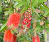 Flores florecientes del callistemon en el día de primavera del sol Foto de archivo