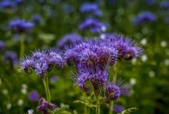 Flores florecientes del campo de la naturaleza del violett de las flores de Phacelia Fotos de archivo libres de regalías