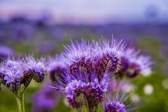 Flores florecientes del campo de la naturaleza del violett de las flores de Phacelia Foto de archivo