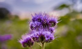 Flores florecientes del campo de la naturaleza del violett de las flores de Phacelia Imágenes de archivo libres de regalías