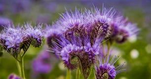Flores florecientes del campo de la naturaleza del violett de las flores de Phacelia Fotografía de archivo libre de regalías