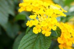 Flores florecientes del candytuft macro amarillo Foto de archivo