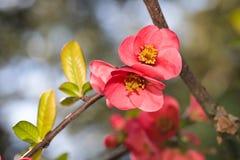 Flores florecientes del ciruelo japonés en cierre del tiempo de primavera encima de la visión fotos de archivo