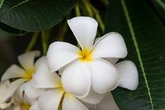 flores florecientes del Frangipani Imagen de archivo