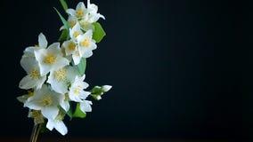 Flores florecientes del jazmín