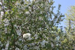 Flores florecientes del manzanar imagenes de archivo