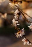 Flores florecientes del manzano Imágenes de archivo libres de regalías