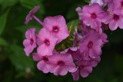 Flores florecientes del polemonio del rosa brillante con descensos de rocío imagenes de archivo