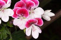 Flores florecientes del rosa del geranio y blancas fotografía de archivo libre de regalías