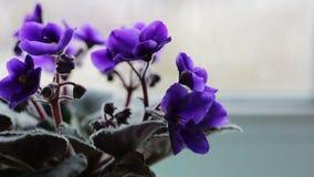Flores florecientes en un pote en el alféizar en tiempo lluvioso almacen de video