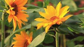 Flores florecientes, girasoles, sol del verano, flores apasionados, almacen de video