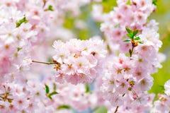 Flores florecientes rosadas Foto de archivo libre de regalías