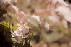 Flores florecientes suaves de Sakura del rosa de la primavera en un cierre de la rama de árbol para arriba con un fondo borroso foto de archivo libre de regalías