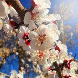 Flores, flores de la cereza en el jardín Fotos de archivo