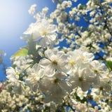 Flores, flores de la cereza en el jardín Fotos de archivo libres de regalías