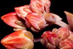 Flores florescidas não ainda de uma planta suculento Fotos de Stock Royalty Free