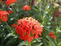 flores Fogo-vermelhas no ligght da manhã Imagem de Stock Royalty Free