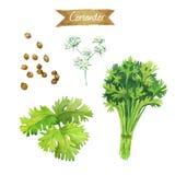 Flores, folhas e sementes do coentro isoladas na ilustração branca da aquarela Imagem de Stock