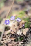 Flores frágeis bonitas do liverleaf na mola Flores da mola na floresta Imagens de Stock