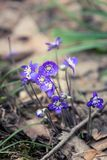 Flores frágeis bonitas do liverleaf na mola Flores da mola na floresta Imagens de Stock Royalty Free