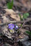 Flores frágeis bonitas do liverleaf na mola Flores da mola na floresta Fotografia de Stock