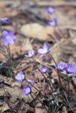 Flores frágeis bonitas do liverleaf na mola Flores da mola na floresta Imagem de Stock Royalty Free