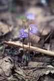 Flores frágeis bonitas do liverleaf na mola Flores da mola na floresta Imagem de Stock