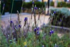 Flores frágiles del color púrpura en el fondo borroso Foto de archivo libre de regalías