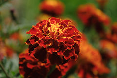 Flores francesas Fotos de archivo