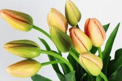 Flores francesas das tulipas no fundo branco Imagens de Stock