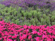 Flores frescas Foto de Stock Royalty Free