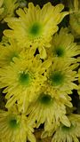 Flores frescas amarelas imagens de stock royalty free