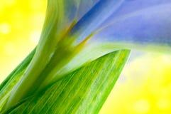 Flores frescas bonitas da íris com waterdrops Fotos de Stock Royalty Free