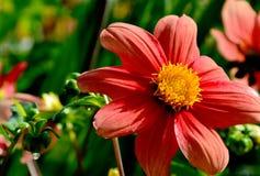 Flores frescas A dália está florescendo imagem de stock royalty free