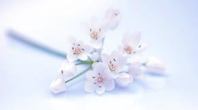 Flores frescas da mola Imagem de Stock