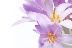 Flores frescas da mola Fotografia de Stock Royalty Free