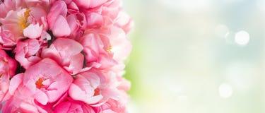 Flores frescas da peônia Fotos de Stock Royalty Free