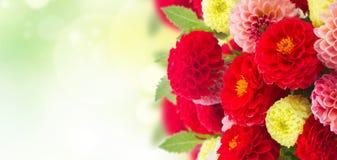 Flores frescas de la dalia Foto de archivo libre de regalías
