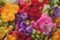 Flores frescas de la fresia fotos de archivo libres de regalías