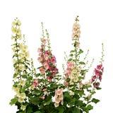 Flores frescas de la malva rosada y blanca Imagen de archivo