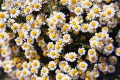 Flores frescas de la manzanilla fotos de archivo libres de regalías