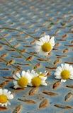Flores frescas de la margarita, manzanillas foto de archivo