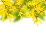 Flores frescas de la primavera de la forsythia en fondo del jardín Imágenes de archivo libres de regalías