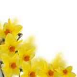 Flores frescas de la primavera de narcisos imágenes de archivo libres de regalías