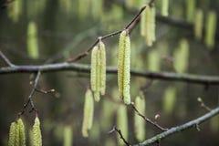 Flores frescas del árbol de abedul en bosque de la primavera Fotos de archivo