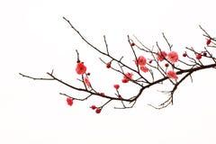 Flores frescas del árbol de ciruelo Imágenes de archivo libres de regalías