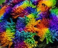Flores frescas del crisantemo, p?talos coloridos foto de archivo